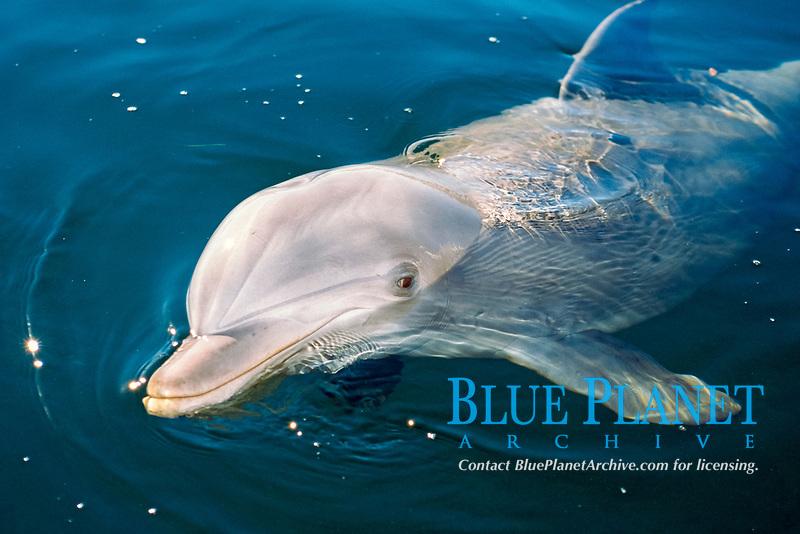 common bottlenose dolphin, Tursiops truncatus (c)