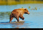 Alaskan Coastal Brown Bear, Silver Salmon Creek, Lake Clark National Park, Alaska