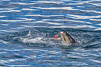 leopard seal, Hydrurga leptonyx, adult, female, stalking, then killing and eating an adult gentoo penguin, Pygoscelis papua, in Paradise Bay, Antarctica, Southern Ocean