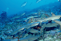 Hunting Whitetip reef shark, Triaenodon obesus, Costa Rica, Cocos Island, America, Pacific Ocean