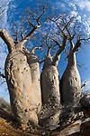 Baobab (Adansonia za). Lac Tsimanampetsotsa National Park, SW Madagascar.