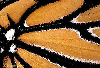 MO05-003z  Monarch Butterfly - close-up of wing - Danaus plexippus