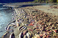 Annual Adams River Sockeye Salmon Run (Oncorhynchus nerka), Roderick Haig-Brown Provincial Park near Salmon Arm, BC, British Columbia, Canada - Dead Fish rotting along Shore of Shuswap Lake - note piles of dead fish on beach