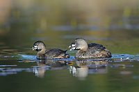 "Mated pair of adult Pied-billed Grebes (Podilymbus podiceps) in breeding plumage. Birds are performing the ""greeting duet"" vocalization. Notice the much smaller size of the female. King County, Washington. April."