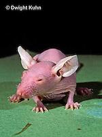 MU53-024z   Hairless Mouse - genetically bred, mutation