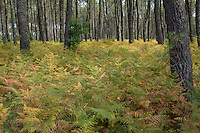 Ferns and tree trunks covering the ground of Landes Forest, Aquitaine, France.