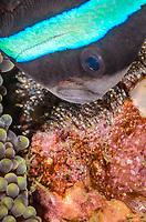 Clark's anemonefish with eggs, Amphiprion clarkii, Anilao, Batangas, Philippines, Pacific Ocean