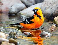 Altamira oriole bathing