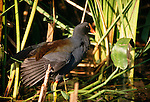 Common Moorhen, Florida
