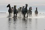 Camargue horses, France