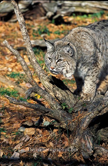 Bobcat on Stump  #C9