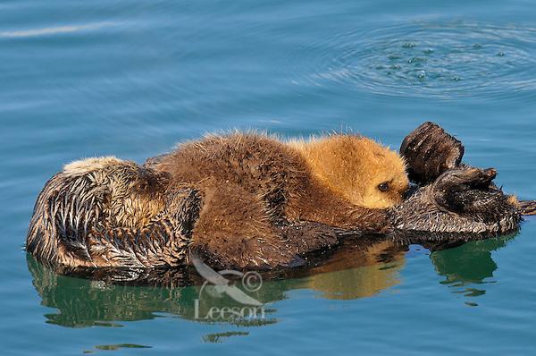 Alaskan or Northern Sea Otter (Enhydra lutris) pup nursing as it rides on moms tummy.  Alaska.