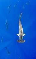 school of scalloped hammerhead sharks, Sphyrna lewini, Kona Coast, Big Island, Hawaii, USA, Pacific Ocean