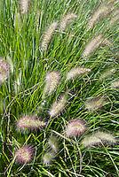 Pennisetum alopecuroides 'Hameln' dwarf fountain grass, ornamental grass in flower, closeup