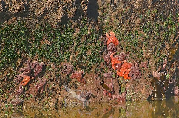Ochre Sea Stars, lined chitons, green anemones in coastal tidal area.  Oregon coast.