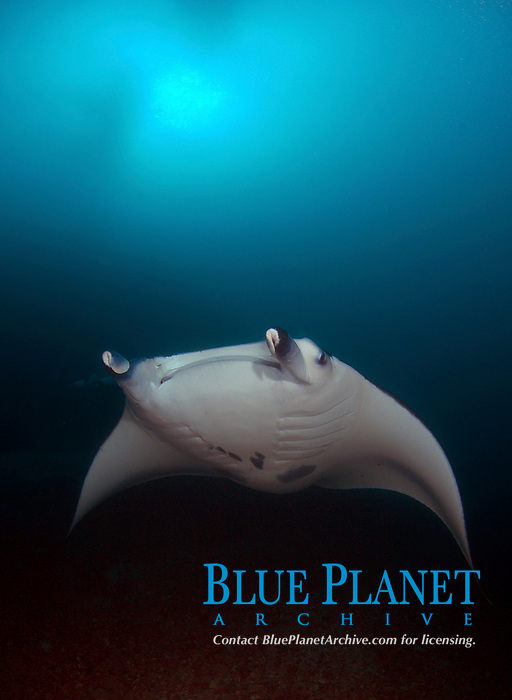 Manta rays (Mobula alfredi) come into Yap's Miil channel to mate in aquabatic trains, feed and clean and often accompany divers.
