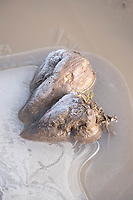 31-1-2021 Sugar beet frozen into waterlogged ground<br /> ©Tim Scrivener Photographer 07850 303986<br />      ....Covering Agriculture In The UK....