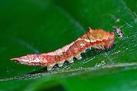 Buchen-Sichelflügler, Raupe, Watsonalla cultraria, Drepana minor, Drepana cultraria, Barred Hook-tip, caterpillar, Sichelflügler, Drepanidae