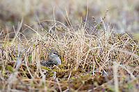 Least Sandpiper (Calidris minutilla) incubating on the nest. Yukon Delta National Wildlife Refuge. May.