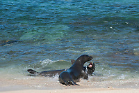 Hawaiian monk seals, Neomonachus schauinslandi, Critically Endangered endemic species, a 7-year-old male (RI11) in front scuffles with a female (R318), behind, at Beach 4 on west end of Molokai, USA, Pacific Ocean