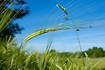 Europa, DEU, Deutschland, Baden-Wuerttemberg, Schwaebische Alb, Ochsenwang, Getreide, Aehre, Natur, Umwelt, Pflanzen, Pflanzenkunde, Botanik, Biologie, <br /> <br /> [Fuer die Nutzung gelten die jeweils gueltigen Allgemeinen Liefer-und Geschaeftsbedingungen. Nutzung nur gegen Verwendungsmeldung und Nachweis. Download der AGB unter http://www.image-box.com oder werden auf Anfrage zugesendet. Freigabe ist vorher erforderlich. Jede Nutzung des Fotos ist honorarpflichtig gemaess derzeit gueltiger MFM Liste - Kontakt, Uwe Schmid-Fotografie, Duisburg, Tel. (+49).2065.677997, ..archiv@image-box.com, www.image-box.com]
