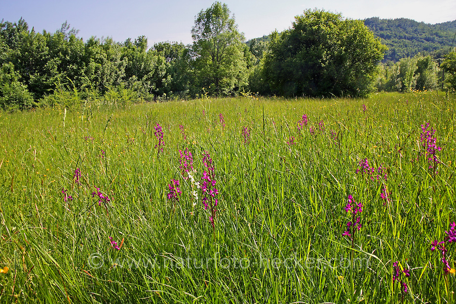 Lockerblütiges Knabenkraut, Lockerblütige Hundswurz, Orchis laxiflora, Anacamptis laxiflora, Lax-flowered Orchid, Loose-Flowered Orchid, Green-winged Meadow Orchid, L'orchis à fleurs lâches
