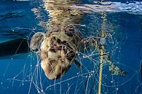 Swell Shark, Cephaloscyllium ventriosum caught in a gill net intended for California Halibut. Guerero Negro, Baja, Mexico, Pacific Ocean
