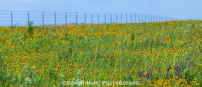 Rudbeckia hirta Black-eyed Susan coneflower perennial wildflower and Elymus, wild rye along barbed wire fence in Tallgrass Prairie Preserve, Oklahoma