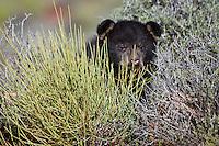 Baby Black Bear hiding out in a bush - CA