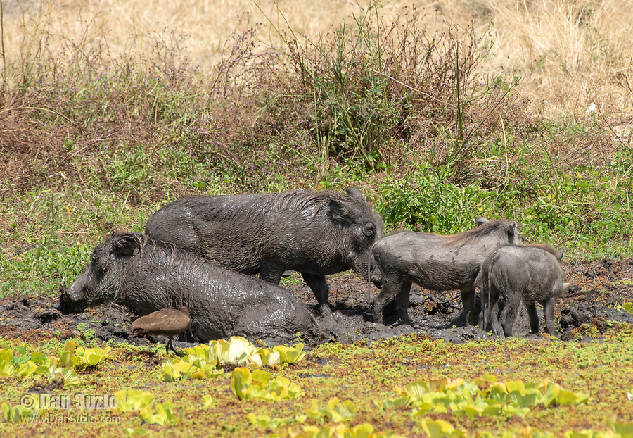 Central African Warthogs, Phacochoerus africanus massaicus, cool off by wallowing in a mudhole in Tarangire National Park, Tanzania