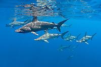 schooling female scalloped hammerhead sharks, Sphyrna lewini, Kona Coast, Hawaii Island (the Big Island), Hawaiian Islands, Indonesia, (Central Pacific Ocean)