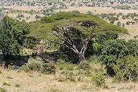 Tanzania. Acacia Kirkii, Loliondo Concession area, adjacent to Serengeti National Park, northeastern sector.