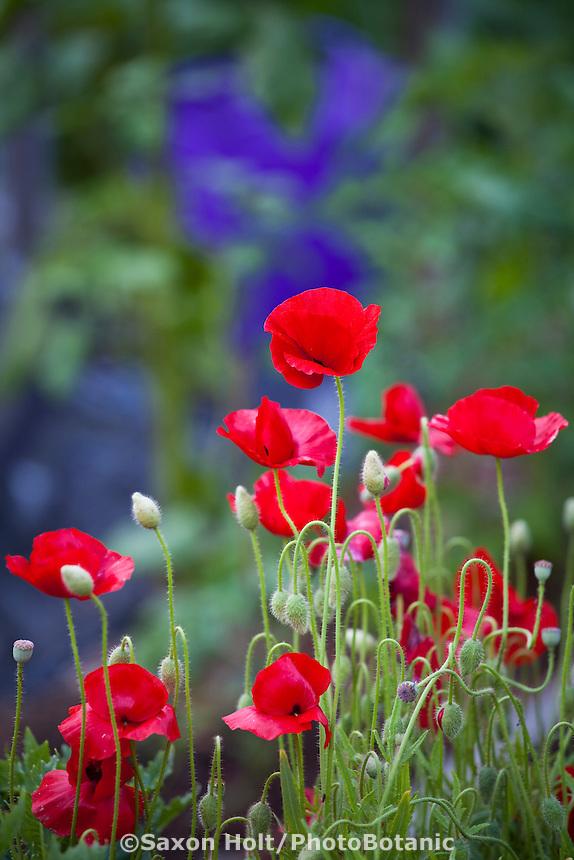 Red poppy flowers (Papaver); Elvin Bishop garden