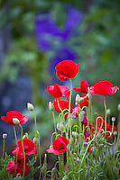 Red poppy flowers (Papaver); Elvin Bishop garden