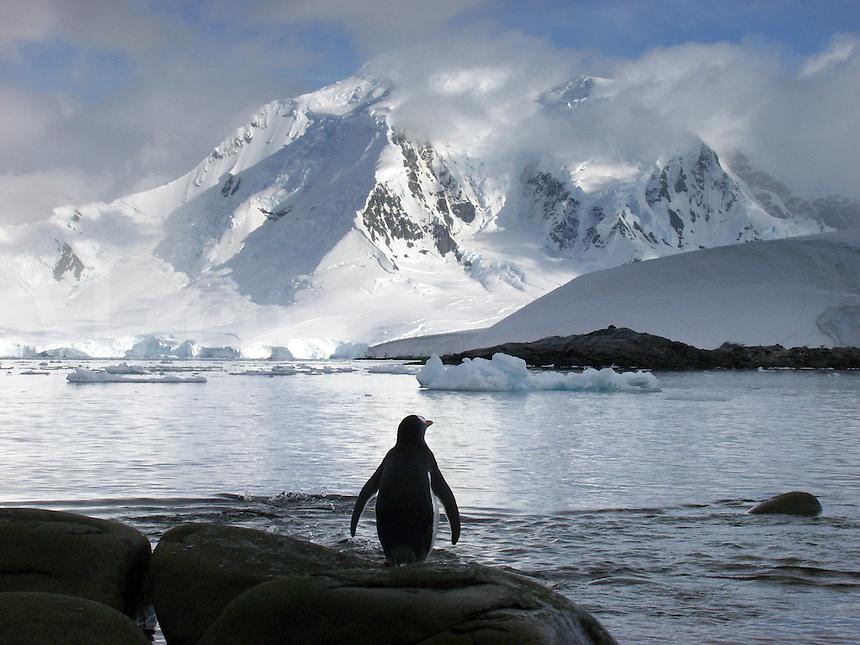 Gentoo penguin (pygoscelis papua) looking at mountains at Jougla Point, Port Lockroy, Antarctica