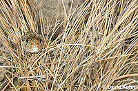 0519-1101  Gopher Snake (Pine Snake, Bull Snake), North American, Pituophis catenifer  © David Kuhn/Dwight Kuhn Photography