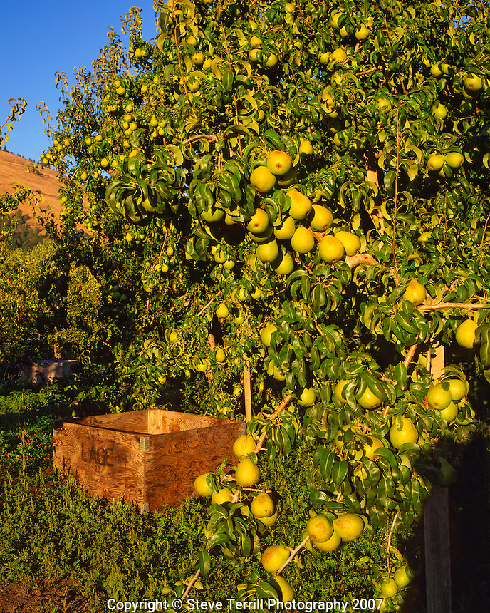 Pears and wooden bin in Hood River County Oregon