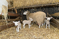 Ewe and young lambs - Lincolnshire, March