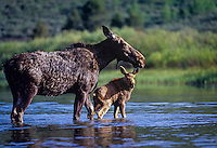 Cow Moose (Alces alces) with young calf.  Rocky Mountains.  June.