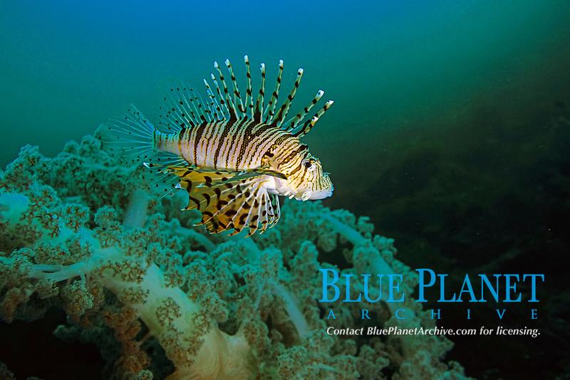 Luna lion fish, Pterois lunulata , Futo, Sagami bay, Izu peninsula, Shizuoka, Japan, Pacific Ocean