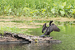 Damon, Texas; a double-crested cormorant drying its wings while standing on a tree stump island in the slough in afternoon sunlight