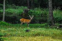 Mule deer bucks is velvet in the Kootenai Forest of Montana
