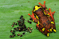 Shreve's Sarayacu Tree Frog Dendropsophus sarayacuensis with freshly-laid egg clutch, Yasunì National Park, the Amazon, Ecuador