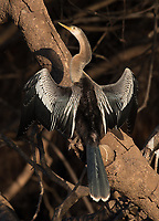 It's common to see anhingas sunning themselves.
