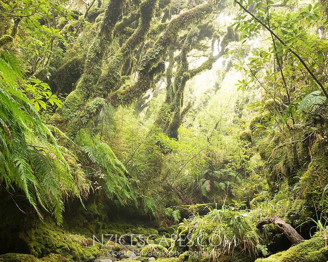 Beech trees with moss, goblin forest, Egmont National Park, North Island, New Zealand, NZ