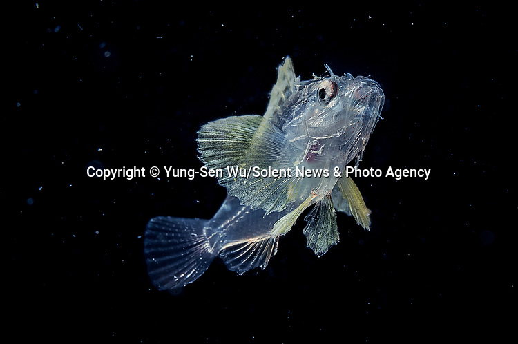 Pictured: A species of scorpaenidae: A fish<br /> <br /> Alien-looking sea creatures which measure just millimetres are seen floating in the darkness of the ocean.  Photos of the see-through black-water larvae, octopus, fish and eels - taken at depths of between 15 and 30 metres below the surface - show the organs of the tiny beings in striking detail.<br /> <br /> Exceptional skill and a keen eye are required to find and photograph the creatures, which measure between one millimetre and two centimetres in size and move quickly through the dark waters.  Photographer Yung-Sen Wu took these pictures off the Philippines and Taiwan, and says it is a challenging task to complete in the pitch-black waters.  SEE OUR COPY FOR DETAILS.<br /> <br /> Please byline: Yung-Sen Wu/Solent News<br /> <br /> © Yung-Sen Wu/Solent News & Photo Agency<br /> UK +44 (0) 2380 458800