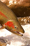 A Rainbow Trout from the North Island of New Zealand