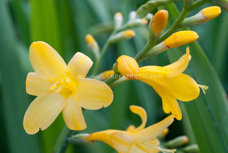 Crocosmia 'Honey Angels' yellow flowers of summer bulb