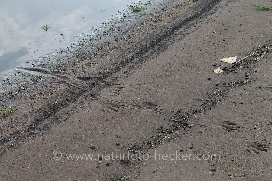 Nutria, Spuren im Sand, Schlamm am Gewässerufer, Trittsiegel, Fährte, mit Abdruck des drehrunden Schwanzes auf dem Untergrund, Sumpfbiber, Sumpf-Biber, Biberratte, Biber-Ratte, Myocastor coypus, Coypu, track, footprint, scent, Le Ragondin