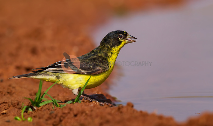Male Lesser Goldfinch at puddle of water with water in beak